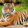 National Animal of India : Bengal Tiger