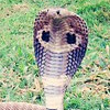 National Reptile of India
